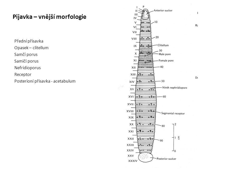 Pijavka – vnější morfologie Přední přísavka Opasek – clitellum Samčí porus Samičí porus Nefridioporus Receptor Posterioní přísavka - acetabulum