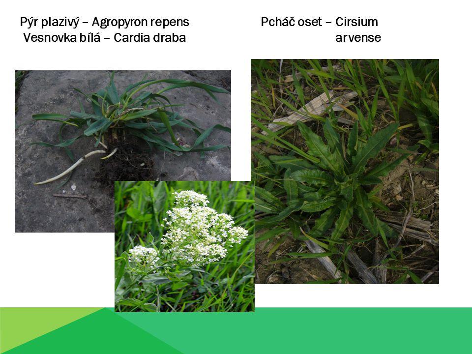 Pýr plazivý – Agropyron repens Pcháč oset – Cirsium Vesnovka bílá – Cardia draba arvense