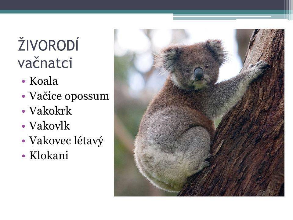 ŽIVORODÍ vačnatci Koala Vačice opossum Vakokrk Vakovlk Vakovec létavý Klokani