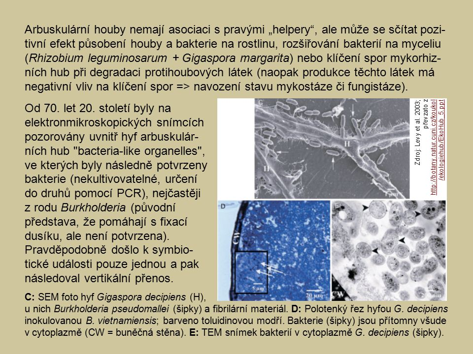 """Arbuskulární houby nemají asociaci s pravými """"helpery , ale může se sčítat pozi- tivní efekt působení houby a bakterie na rostlinu, rozšiřování bakterií na myceliu (Rhizobium leguminosarum + Gigaspora margarita) nebo klíčení spor mykorhiz- ních hub při degradaci protihoubových látek (naopak produkce těchto látek má negativní vliv na klíčení spor => navození stavu mykostáze či fungistáze)."""