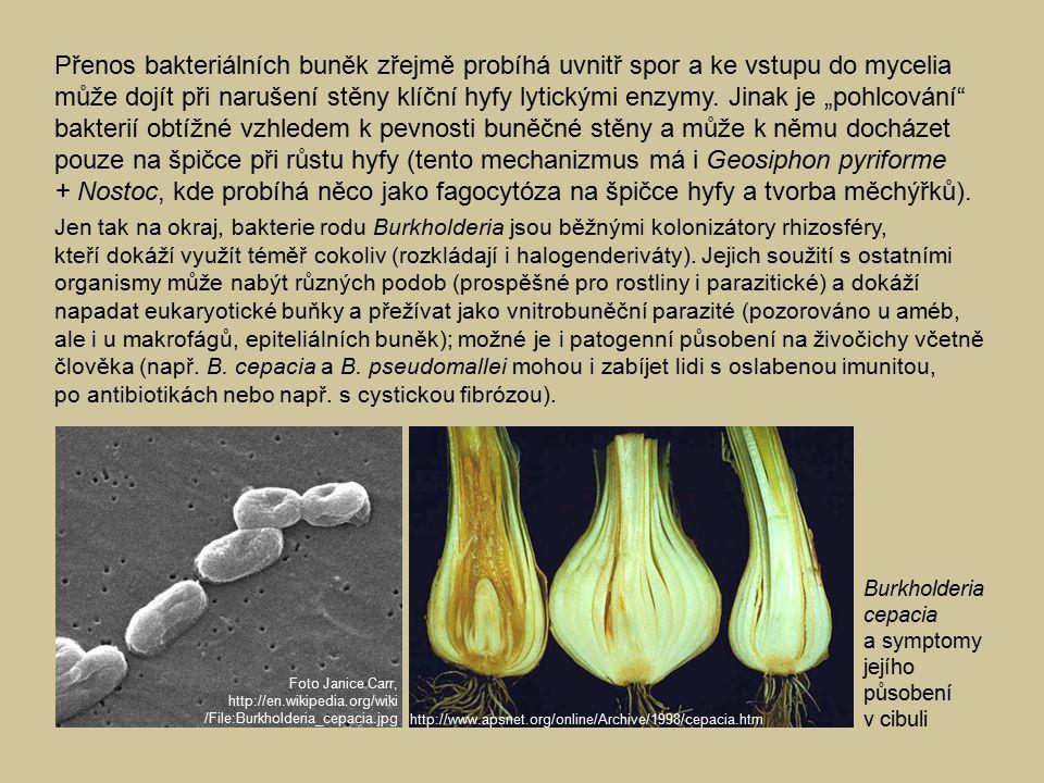 Přenos bakteriálních buněk zřejmě probíhá uvnitř spor a ke vstupu do mycelia může dojít při narušení stěny klíční hyfy lytickými enzymy.