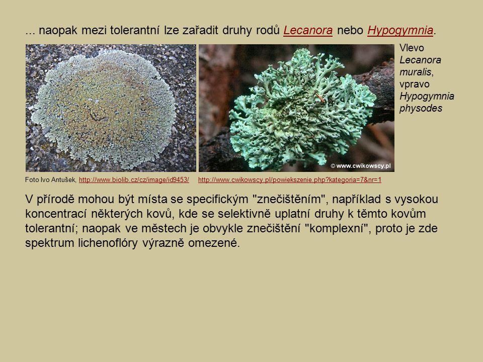 ... naopak mezi tolerantní lze zařadit druhy rodů Lecanora nebo Hypogymnia.LecanoraHypogymnia V přírodě mohou být místa se specifickým