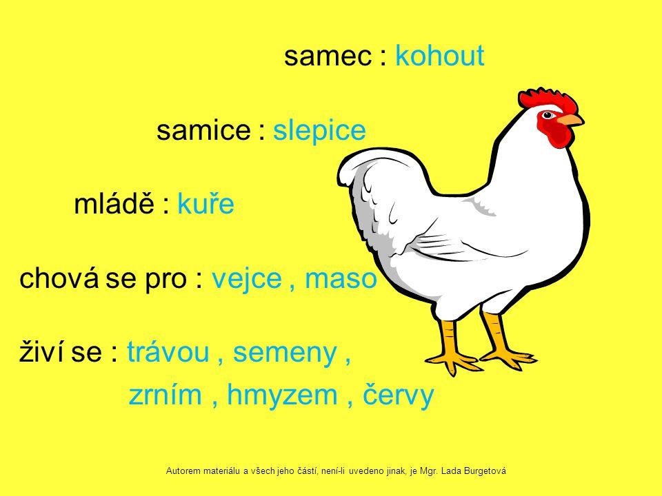 samec : kohout samice : slepice mládě : kuře chová se pro : vejce, maso živí se : trávou, semeny, zrním, hmyzem, červy Autorem materiálu a všech jeho částí, není-li uvedeno jinak, je Mgr.