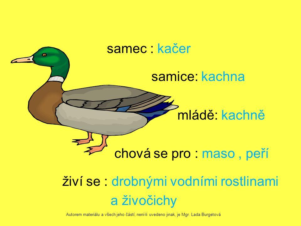 samec : kačer samice: kachna mládě: kachně chová se pro : maso, peří živí se : drobnými vodními rostlinami a živočichy Autorem materiálu a všech jeho částí, není-li uvedeno jinak, je Mgr.