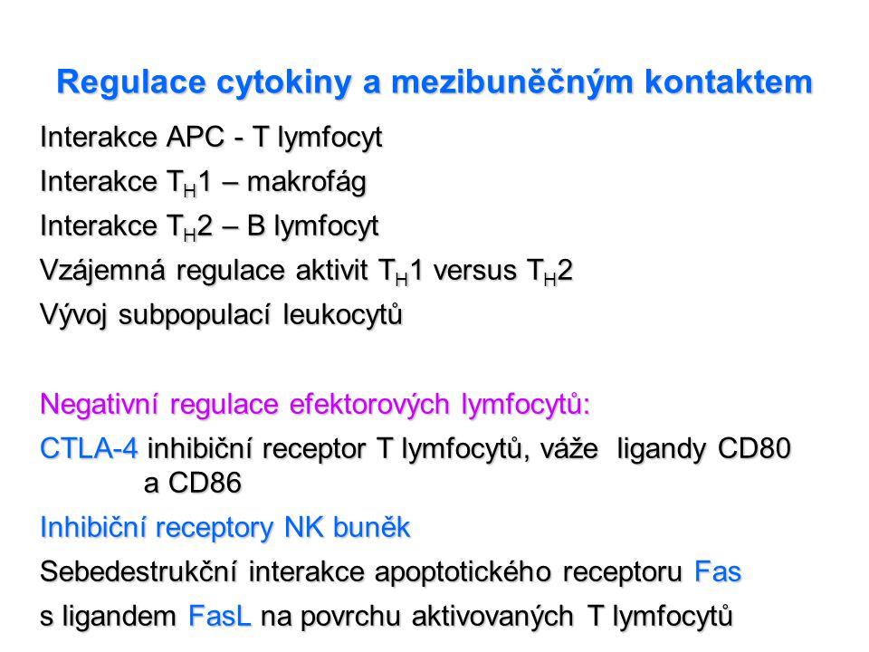 Regulace cytokiny a mezibuněčným kontaktem Interakce APC - T lymfocyt Interakce T H 1 – makrofág Interakce T H 2 – B lymfocyt Vzájemná regulace aktivi