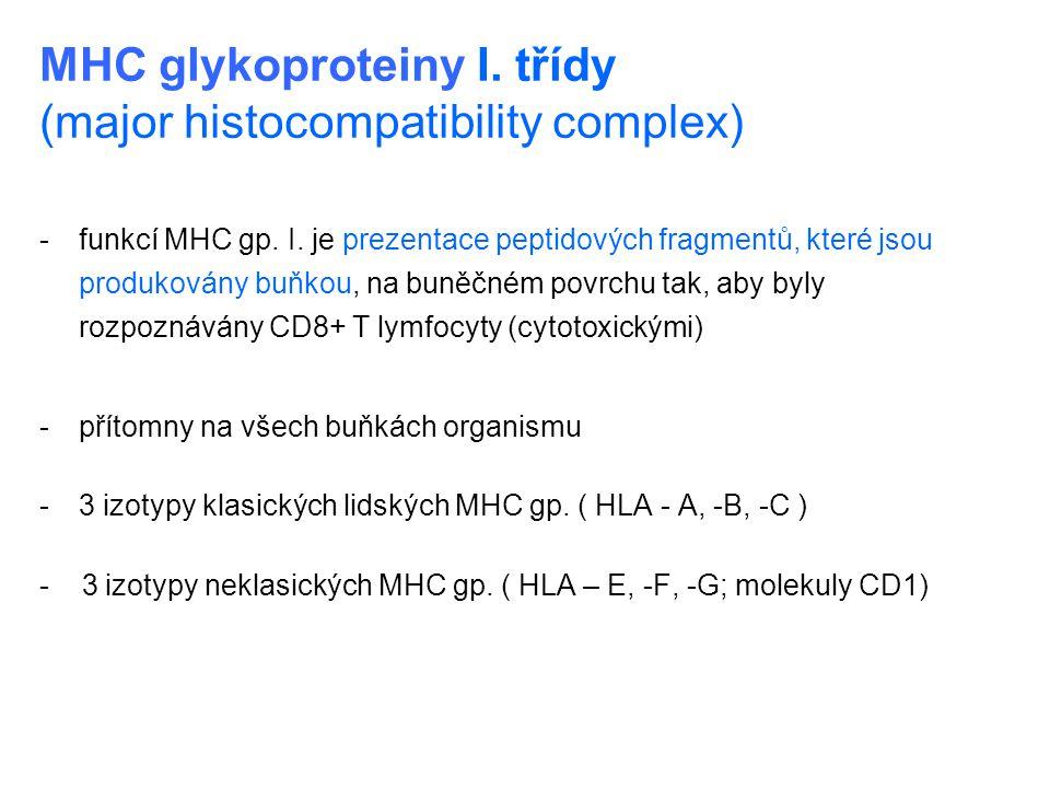 MHC glykoproteiny I. třídy (major histocompatibility complex) -funkcí MHC gp. I. je prezentace peptidových fragmentů, které jsou produkovány buňkou, n