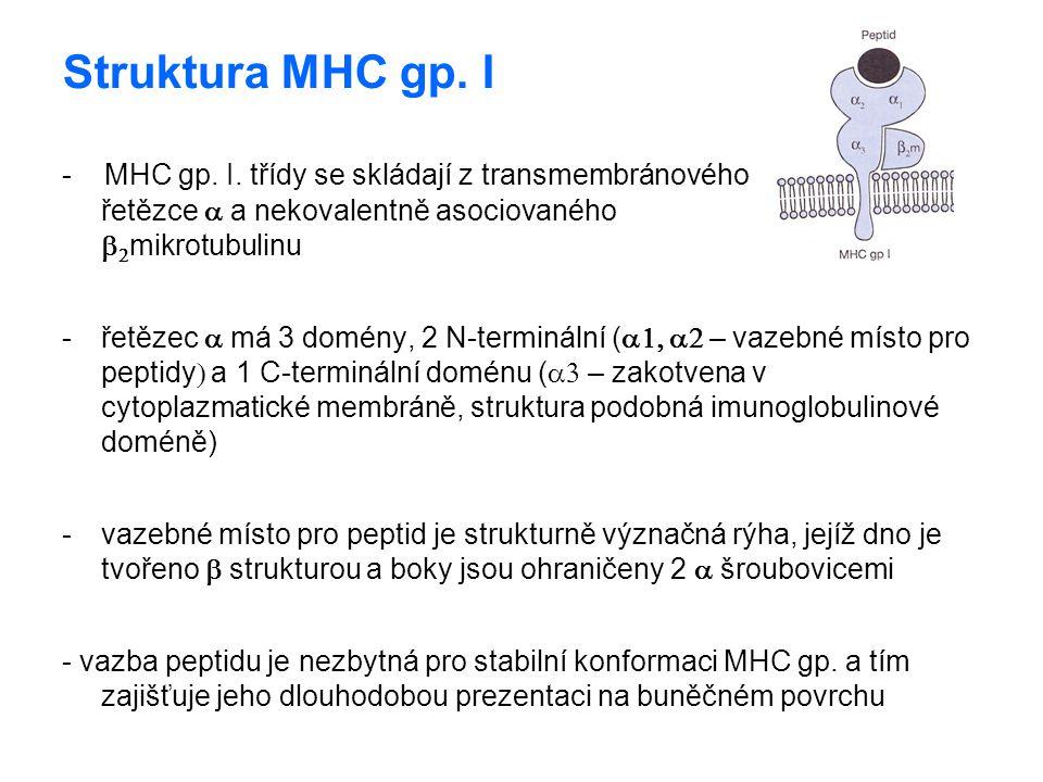 Struktura MHC gp. I - MHC gp. I. třídy se skládají z transmembránového řetězce  a nekovalentně asociovaného   mikrotubulinu -řetězec  má 3 domény,