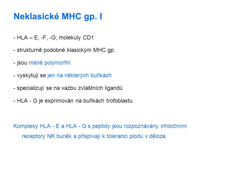 Neklasické MHC gp. I - HLA – E, -F, -G; molekuly CD1 - strukturně podobné klasickým MHC gp. - jsou méně polymorfní - vyskytují se jen na některých buň