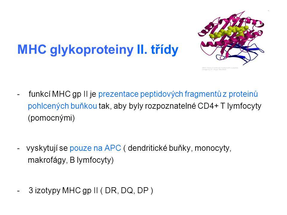 MHC glykoproteiny II. třídy - funkcí MHC gp II je prezentace peptidových fragmentů z proteinů pohlcených buňkou tak, aby byly rozpoznatelné CD4+ T lym