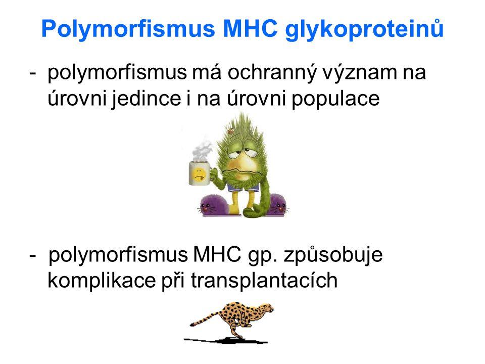 Polymorfismus MHC glykoproteinů -polymorfismus má ochranný význam na úrovni jedince i na úrovni populace - polymorfismus MHC gp. způsobuje komplikace
