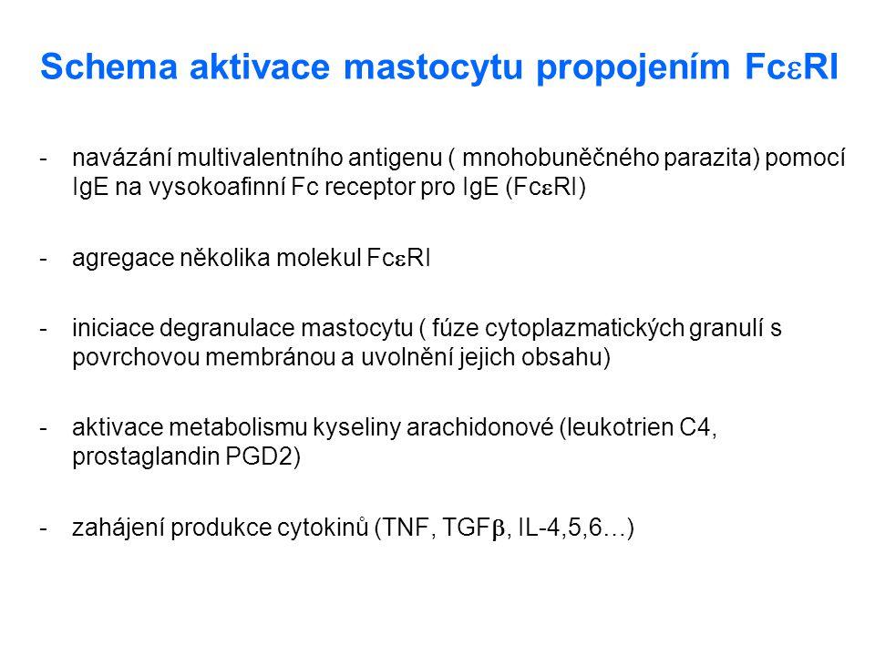 Schema aktivace mastocytu propojením Fc  RI - navázání multivalentního antigenu ( mnohobuněčného parazita) pomocí IgE na vysokoafinní Fc receptor pro