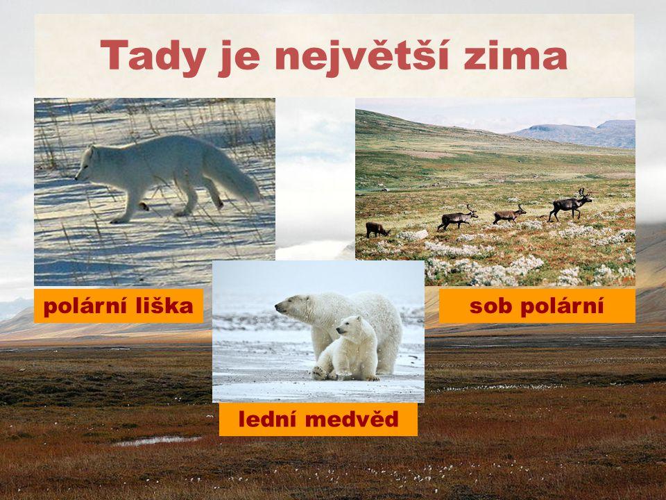Tady je největší zima lední medvěd sob polárnípolární liška