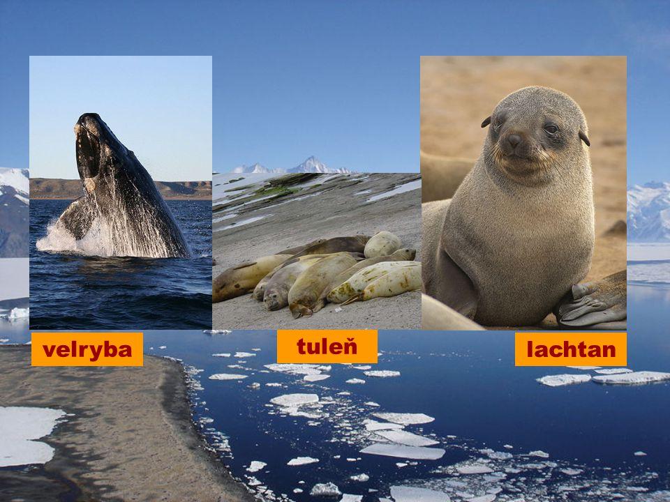 lachtan tuleň velryba