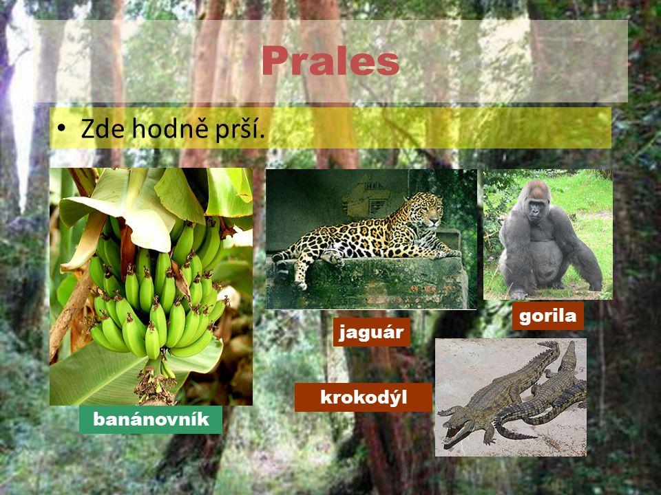 Prales Zde hodně prší. krokodýl gorila jaguár banánovník