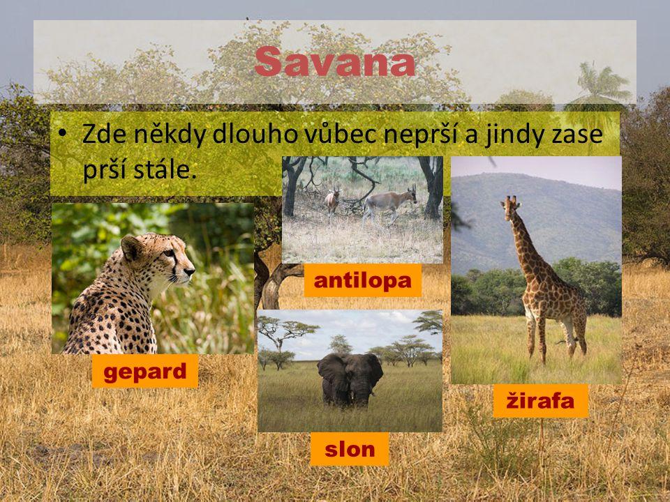 Savana Zde někdy dlouho vůbec neprší a jindy zase prší stále. gepard žirafa antilopa slon