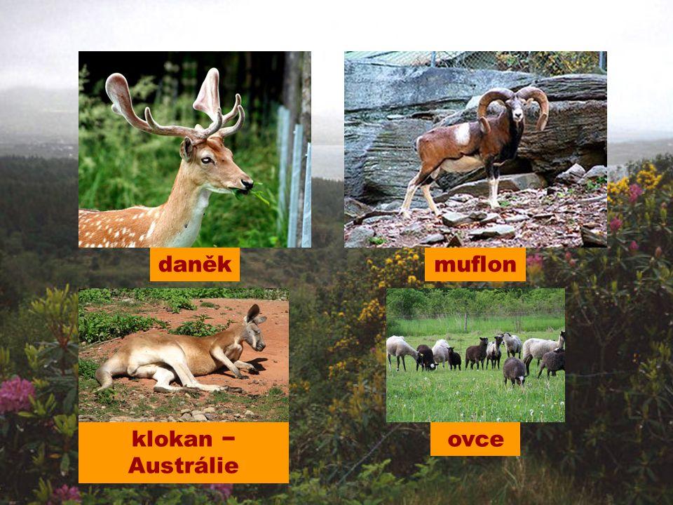 daněk ovceklokan − Austrálie muflon