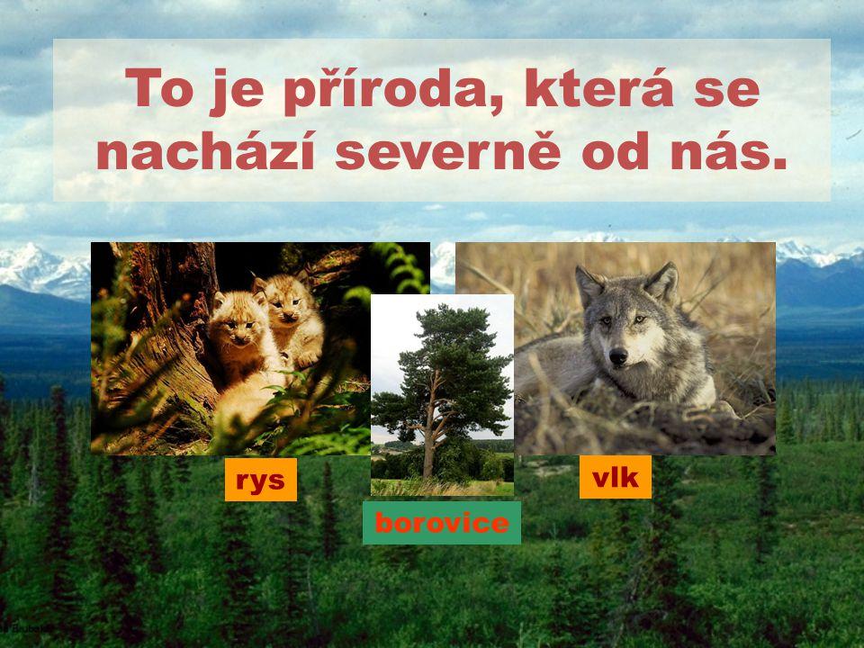 To je příroda, která se nachází severně od nás. borovice vlk rys