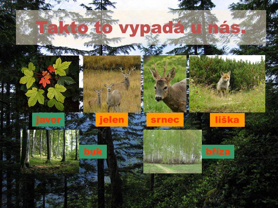 Takto to vypadá u nás. srnec bukbříza javor liška jelen