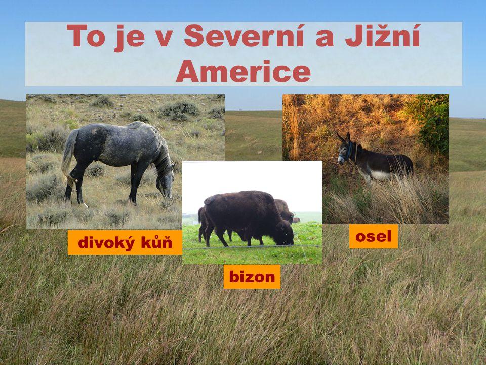 To je v Severní a Jižní Americe divoký kůň osel bizon