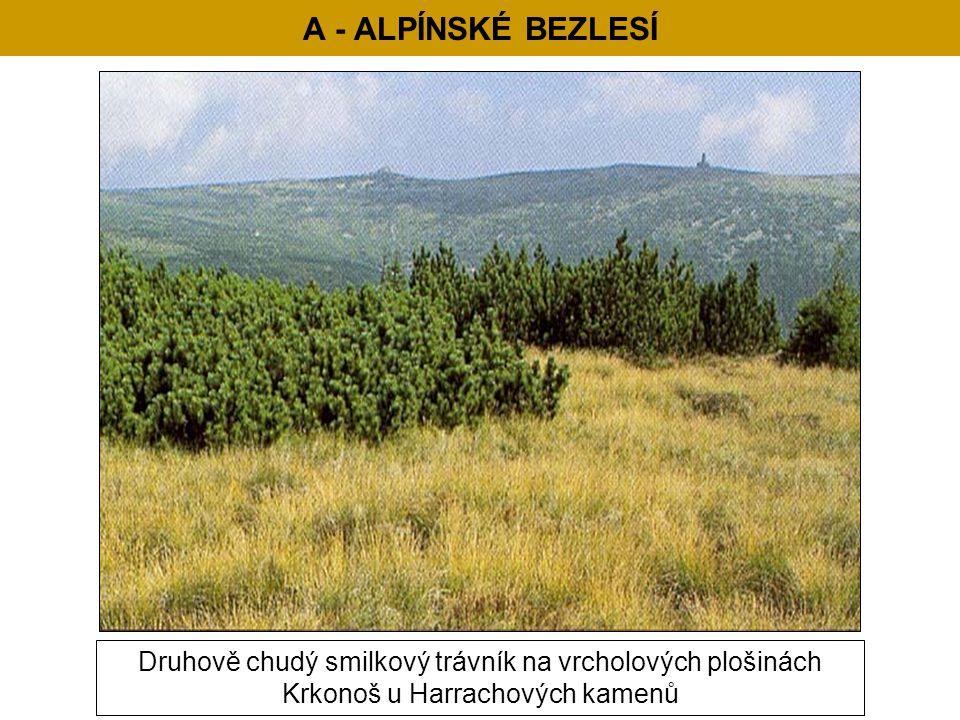 A - ALPÍNSKÉ BEZLESÍ Druhově chudý smilkový trávník na vrcholových plošinách Krkonoš u Harrachových kamenů
