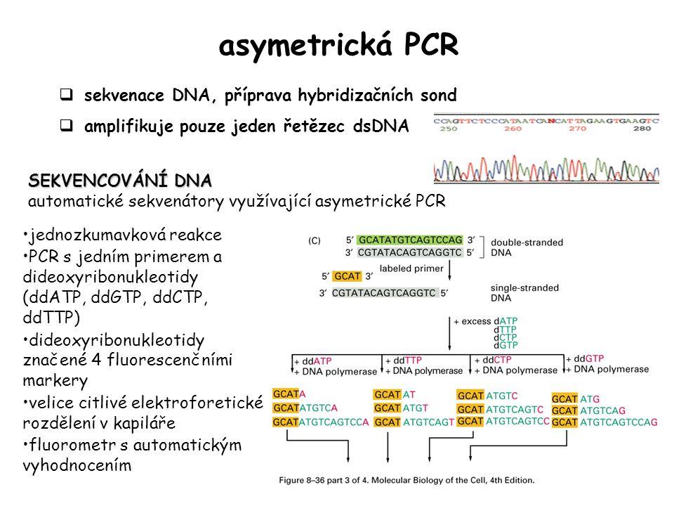 asymetrická PCR  sekvenace DNA, příprava hybridizačních sond  amplifikuje pouze jeden řetězec dsDNA jednozkumavková reakce PCR s jedním primerem a dideoxyribonukleotidy (ddATP, ddGTP, ddCTP, ddTTP) dideoxyribonukleotidy značené 4 fluorescenčními markery velice citlivé elektroforetické rozdělení v kapiláře fluorometr s automatickým vyhodnocením SEKVENCOVÁNÍ DNA automatické sekvenátory využívající asymetrické PCR
