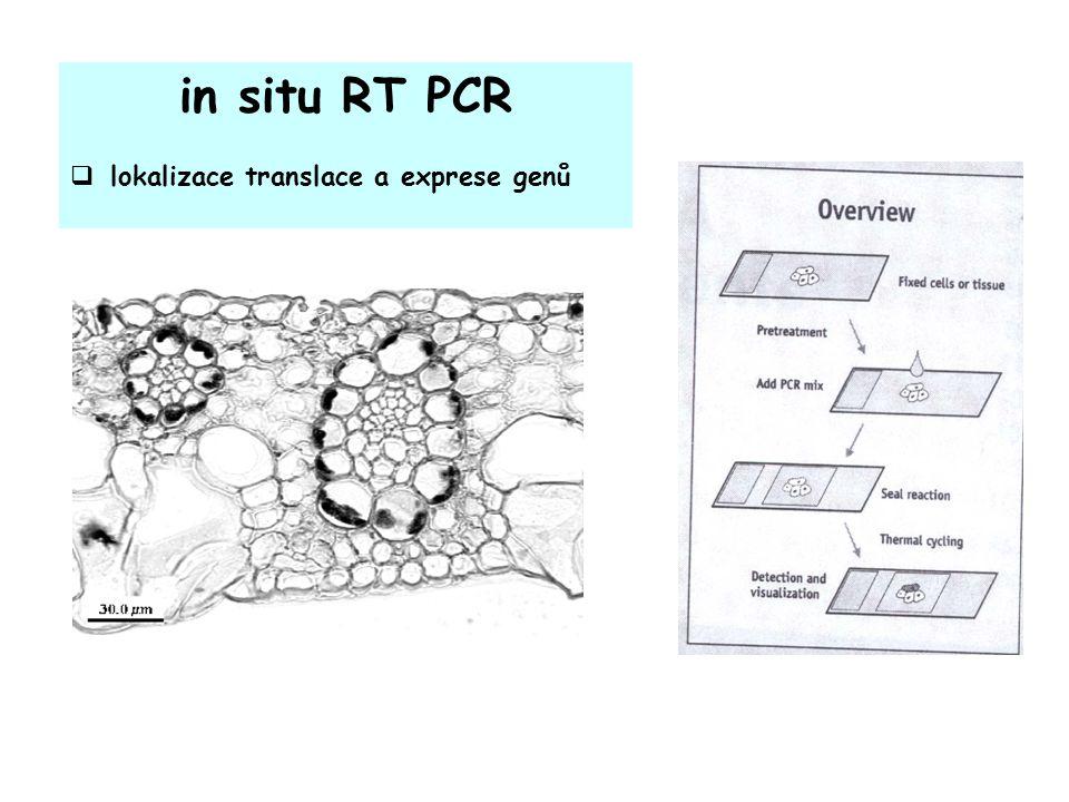 in situ RT PCR  lokalizace translace a exprese genů