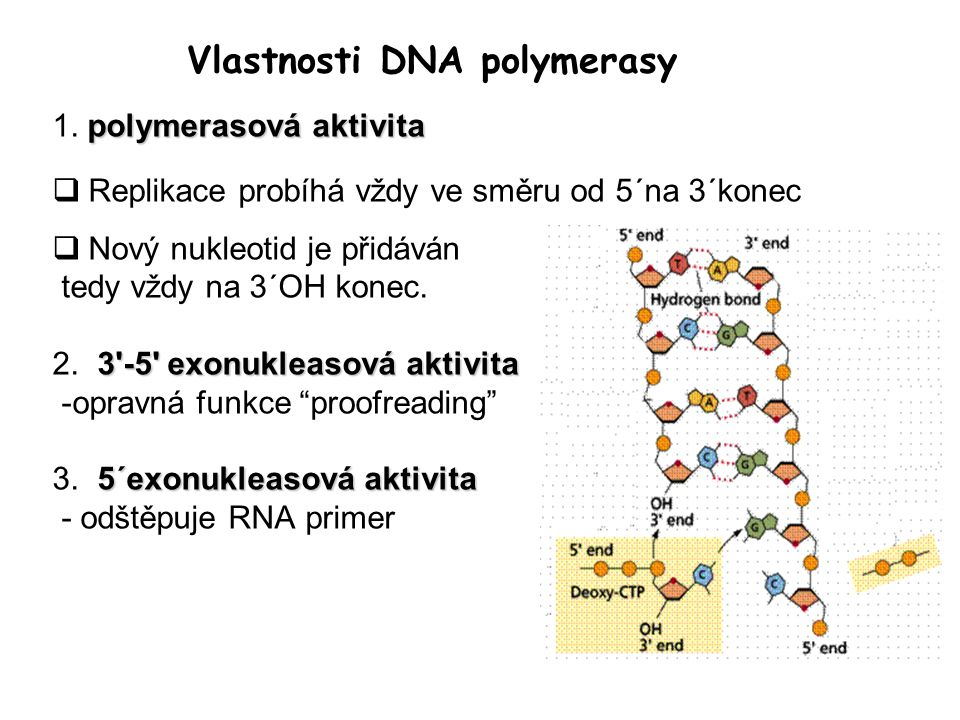 Vlastnosti DNA polymerasy polymerasová aktivita 1.