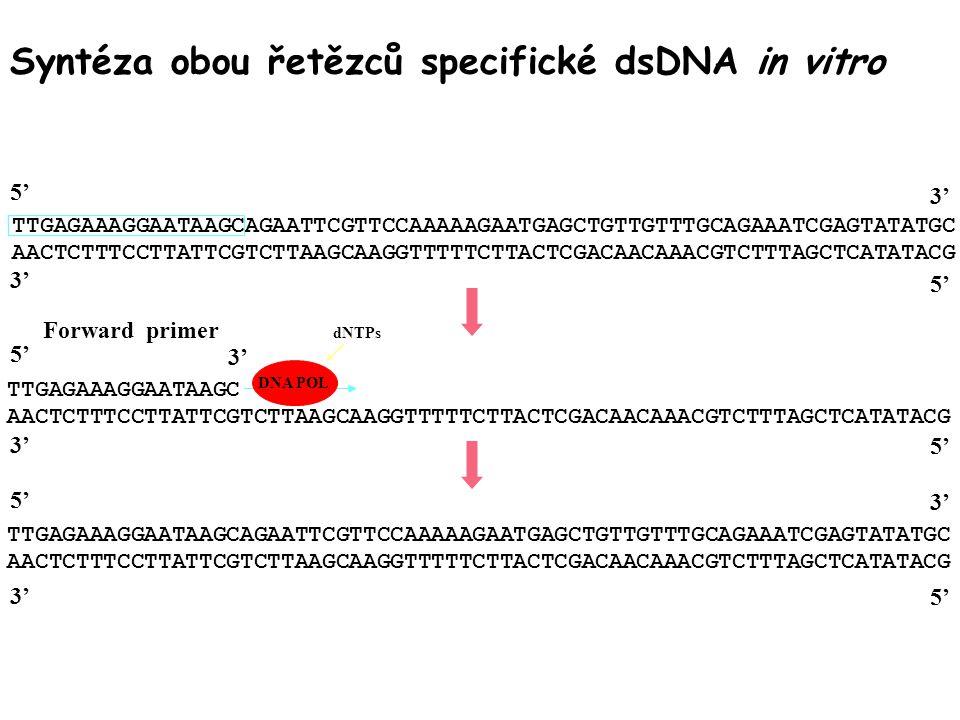 Syntéza obou řetězců specifické dsDNA in vitro TTGAGAAAGGAATAAGCAGAATTCGTTCCAAAAAGAATGAGCTGTTGTTTGCAGAAATCGAGTATATGC AACTCTTTCCTTATTCGTCTTAAGCAAGGTTTTTCTTACTCGACAACAAACGTCTTTAGCTCATATACG 5' 3' 5' TTGAGAAAGGAATAAGC AACTCTTTCCTTATTCGTCTTAAGCAAGGTTTTTCTTACTCGACAACAAACGTCTTTAGCTCATATACG 3' 5' 3' Forward primer TTGAGAAAGGAATAAGCAGAATTCGTTCCAAAAAGAATGAGCTGTTGTTTGCAGAAATCGAGTATATGC AACTCTTTCCTTATTCGTCTTAAGCAAGGTTTTTCTTACTCGACAACAAACGTCTTTAGCTCATATACG 5' 3' 5' DNA POL dNTPs