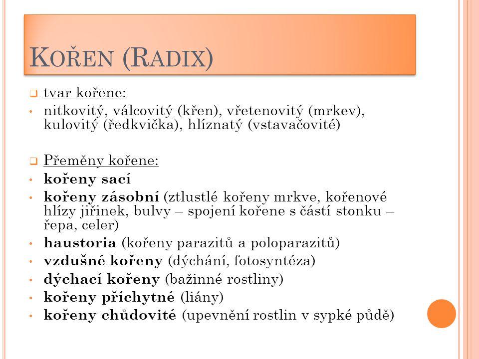 K OŘEN (R ADIX )  tvar kořene: nitkovitý, válcovitý (křen), vřetenovitý (mrkev), kulovitý (ředkvička), hlíznatý (vstavačovité)  Přeměny kořene: koře
