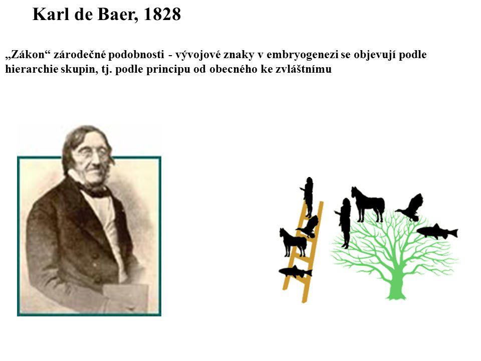 """Karl de Baer, 1828 """"Zákon"""" zárodečné podobnosti - vývojové znaky v embryogenezi se objevují podle hierarchie skupin, tj. podle principu od obecného ke"""