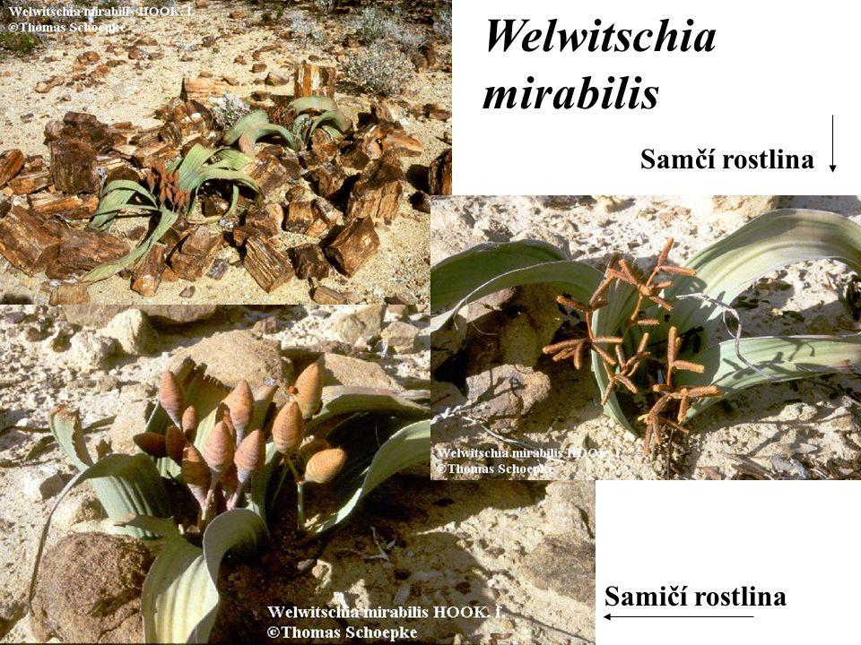 Samčí rostlina Samičí rostlina Welwitschia mirabilis
