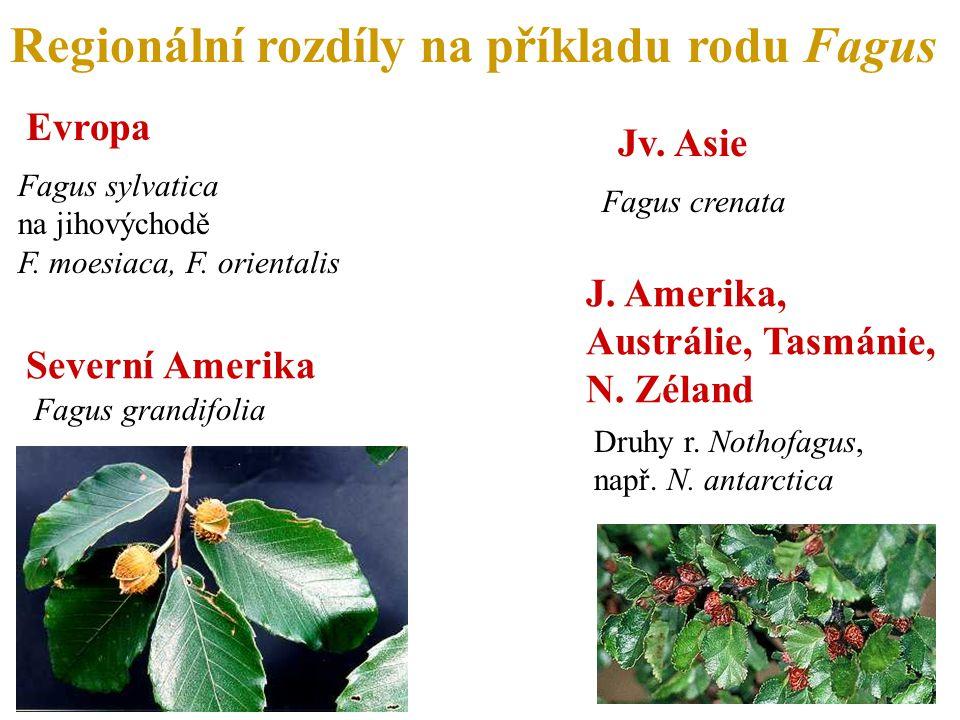 Regionální rozdíly na příkladu rodu Fagus Severní Amerika Fagus grandifolia Jv.