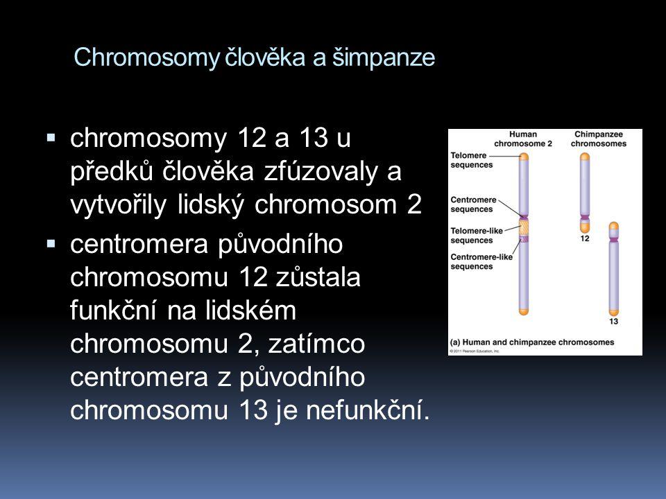 Chromosomy člověka a šimpanze  chromosomy 12 a 13 u předků člověka zfúzovaly a vytvořily lidský chromosom 2  centromera původního chromosomu 12 zůst