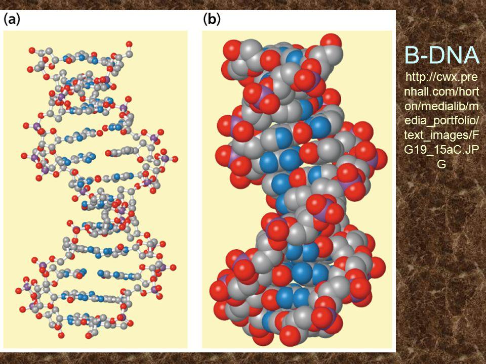 B-DNA http://cwx.pre nhall.com/hort on/medialib/m edia_portfolio/ text_images/F G19_15aC.JP G