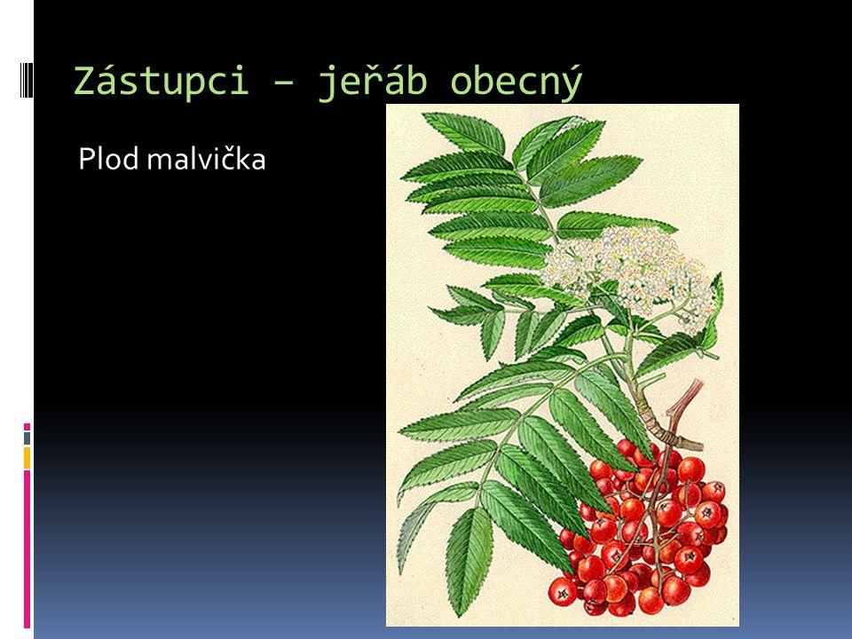Zástupci – jeřáb obecný Plod malvička