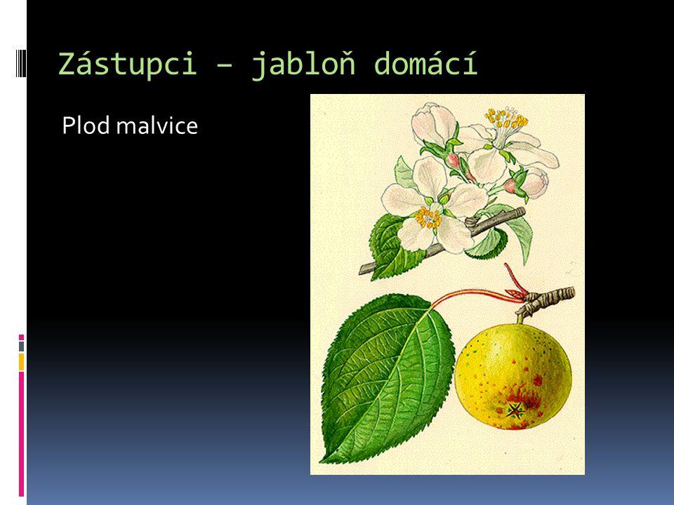 Zástupci – jabloň domácí Plod malvice