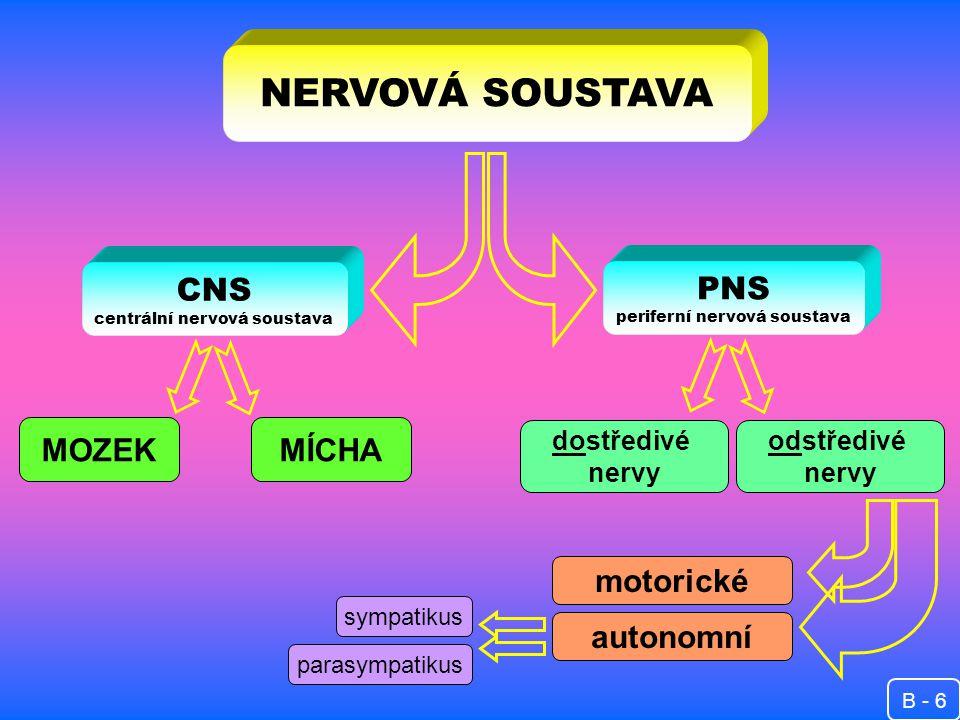 NERVOVÁ SOUSTAVA CNS centrální nervová soustava PNS periferní nervová soustava MOZEKMÍCHA dostředivé nervy odstředivé nervy motorické autonomní sympatikus parasympatikus B - 6
