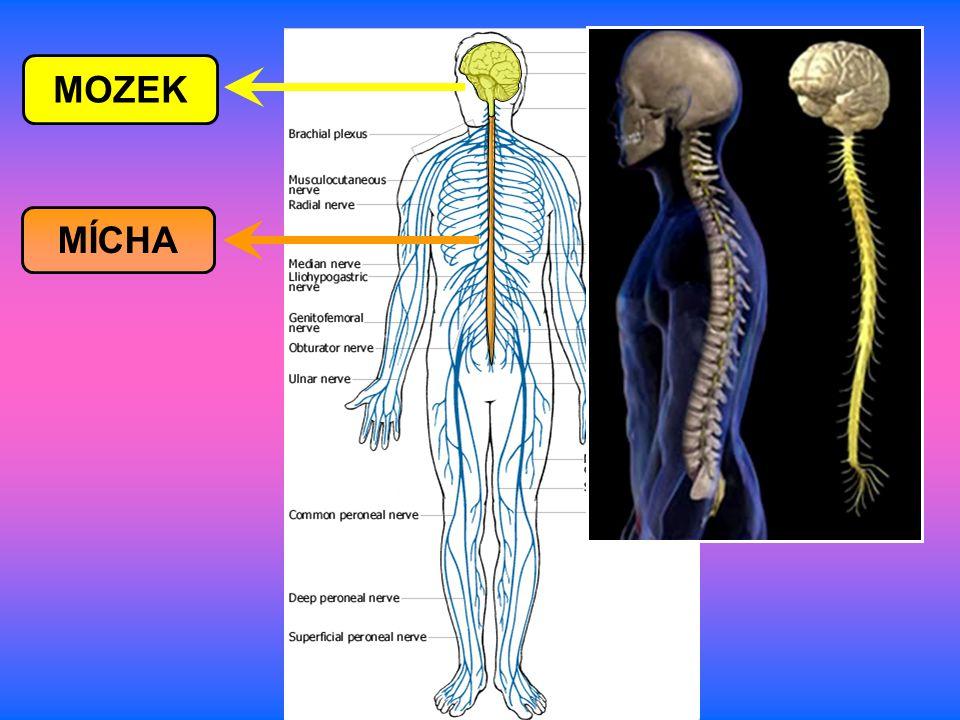 Všechny části těla jsou s centrální nervovou soustavou (CNS) spojeny prostřednictvím periferní nervové soustavy (PNS) v obou směrech.