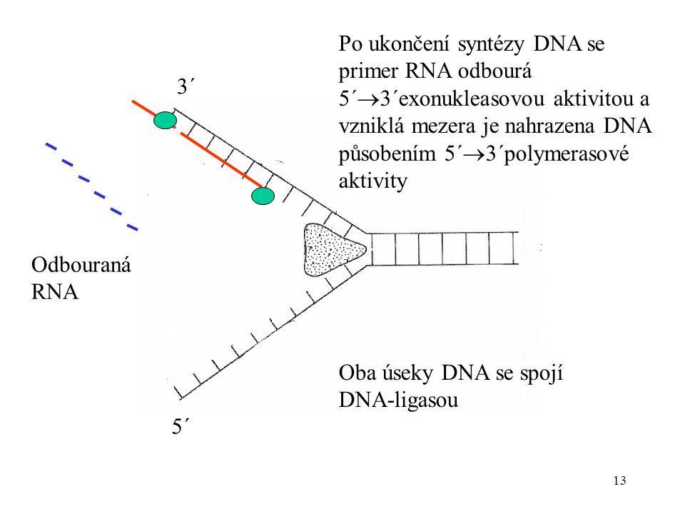 13 Po ukončení syntézy DNA se primer RNA odbourá 5´  3´exonukleasovou aktivitou a vzniklá mezera je nahrazena DNA působením 5´  3´polymerasové aktiv