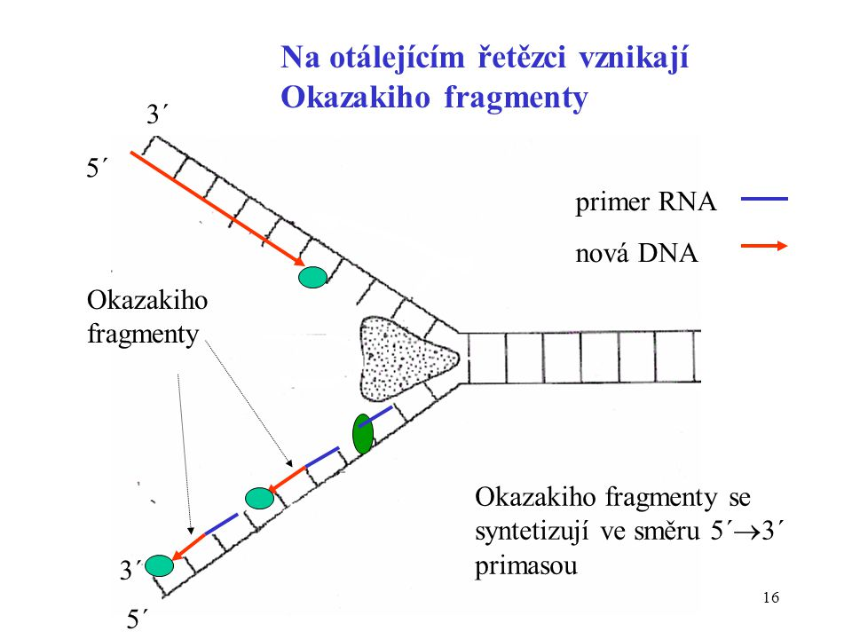 16 Na otálejícím řetězci vznikají Okazakiho fragmenty Okazakiho fragmenty Okazakiho fragmenty se syntetizují ve směru 5´  3´ primasou 3´ 5´ 3´ primer