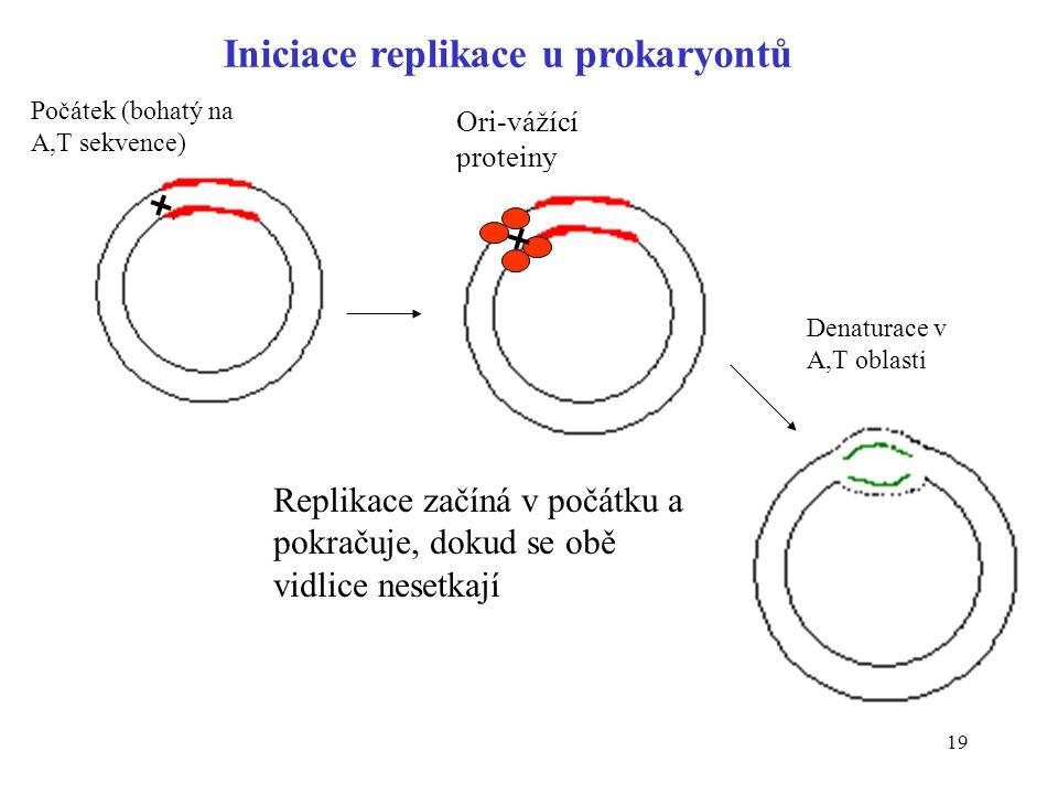19 Iniciace replikace u prokaryontů Ori-vážící proteiny Počátek (bohatý na A,T sekvence) Denaturace v A,T oblasti Replikace začíná v počátku a pokraču