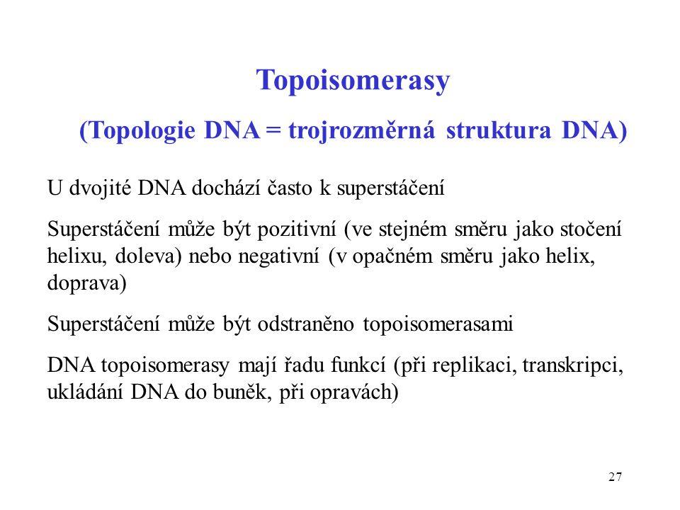 27 Topoisomerasy (Topologie DNA = trojrozměrná struktura DNA) U dvojité DNA dochází často k superstáčení Superstáčení může být pozitivní (ve stejném s
