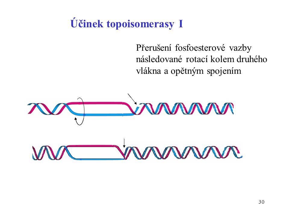 30 Účinek topoisomerasy I Přerušení fosfoesterové vazby následované rotací kolem druhého vlákna a opětným spojením
