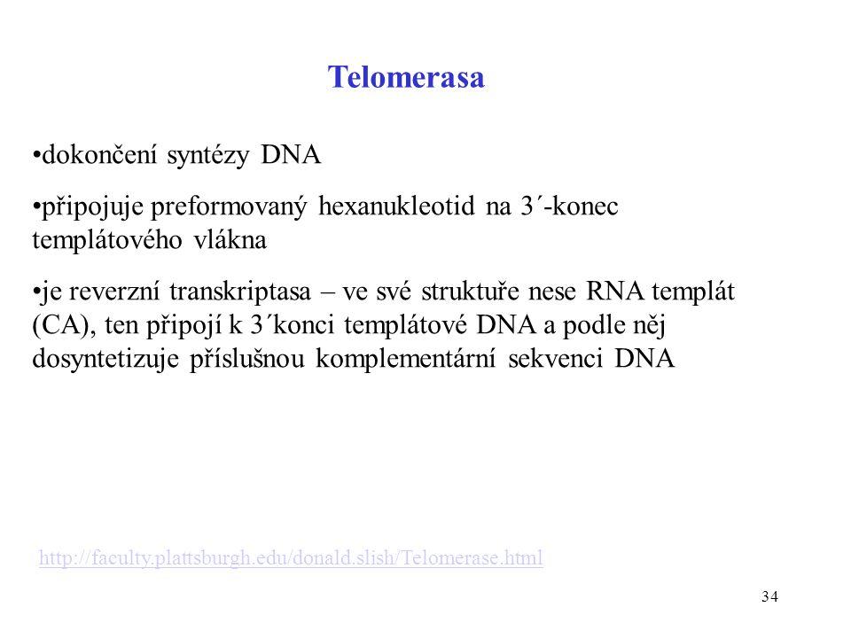 34 Telomerasa dokončení syntézy DNA připojuje preformovaný hexanukleotid na 3´-konec templátového vlákna je reverzní transkriptasa – ve své struktuře