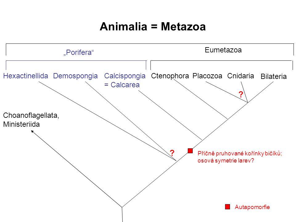 """Animalia = Metazoa Hexactinellida Bilateria ? CnidariaPlacozoaCtenophoraDemospongia ? Choanoflagellata, Ministeriida Eumetazoa """"Porifera"""" Calcispongia"""
