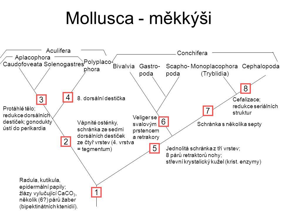 Mollusca - měkkýši CaudofoveataSolenogastres Polyplaco- phora Monoplacophora (Tryblidia) Cephalopoda Aplacophora Conchifera 1 3 5 7 Radula, kutikula, epidermální papily; žlázy vylučující CaCO 3, několik (6?) párů žaber (bipektinátních ktenidií).