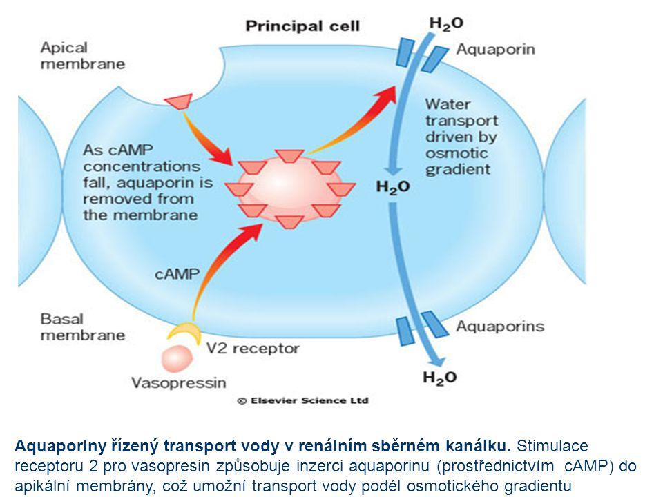 Aquaporiny řízený transport vody v renálním sběrném kanálku. Stimulace receptoru 2 pro vasopresin způsobuje inzerci aquaporinu (prostřednictvím cAMP)