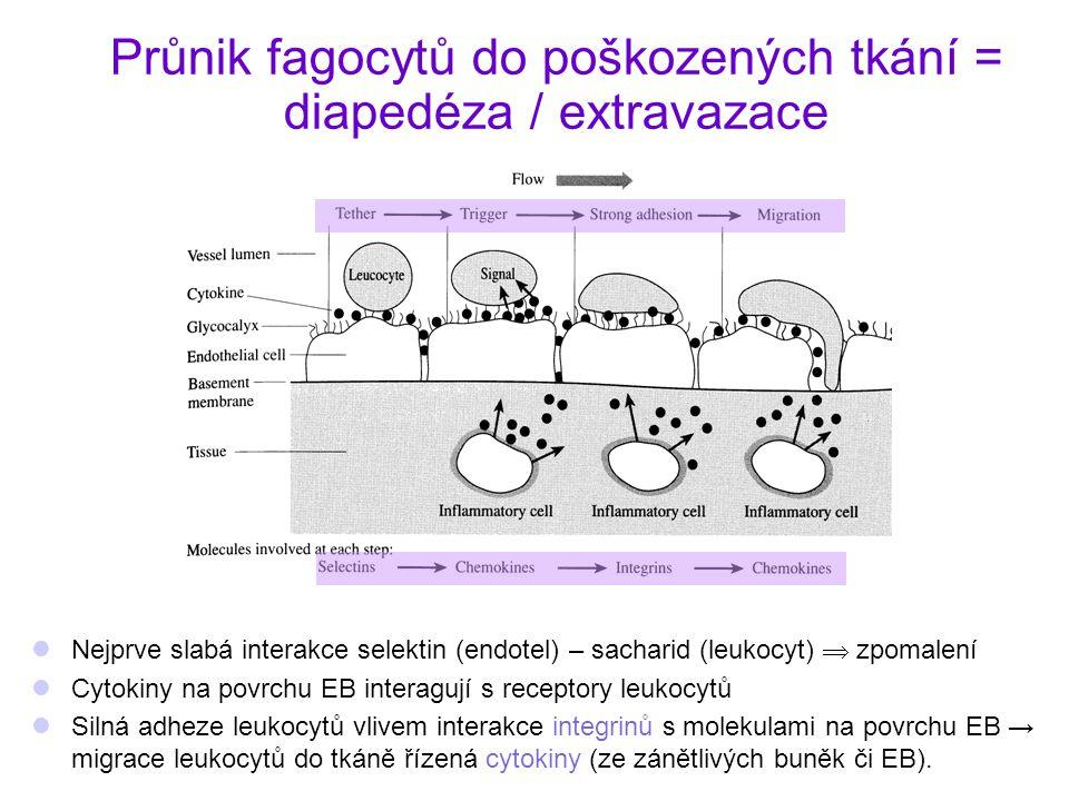 Průnik fagocytů do poškozených tkání = diapedéza / extravazace Nejprve slabá interakce selektin (endotel) – sacharid (leukocyt)  zpomalení Cytokiny n