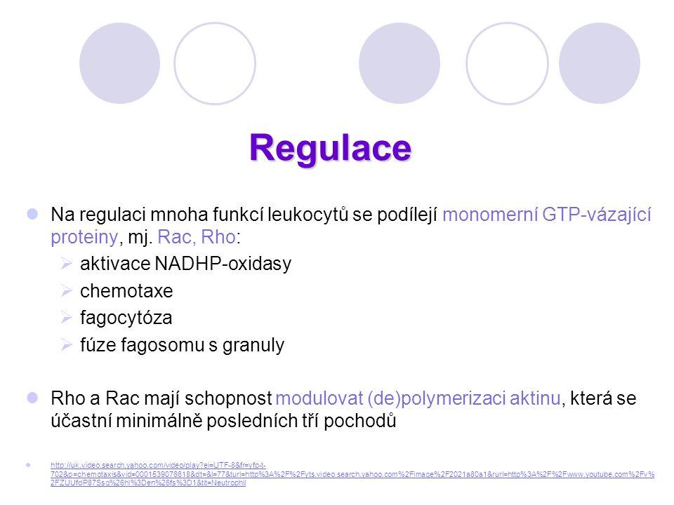 Regulace Na regulaci mnoha funkcí leukocytů se podílejí monomerní GTP-vázající proteiny, mj. Rac, Rho:  aktivace NADHP-oxidasy  chemotaxe  fagocytó
