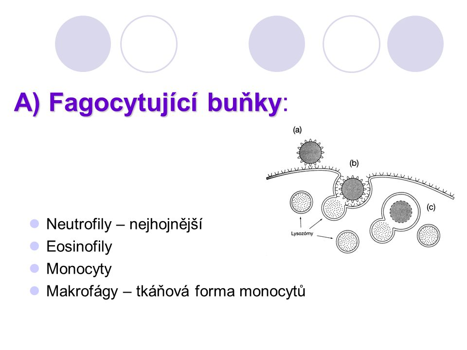 A) Fagocytující buňky A) Fagocytující buňky: Neutrofily – nejhojnější Eosinofily Monocyty Makrofágy – tkáňová forma monocytů